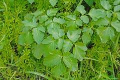 Podagraria d'Aegopodium, l'aîné moulu, de l'Apiaceae de famille Photos stock