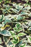 Podagraria de Aegopodium Hojas del verde con los bordes verde-blancos Fotos de archivo libres de regalías
