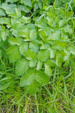 Podagraria de Aegopodium, la anciano de tierra, del Apiaceae de la familia Fotografía de archivo libre de regalías