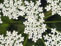 Podagraria de Aegopodium, mala hierba del ` s del obispo, macro de la flor, foco selectivo Foto de archivo