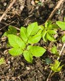Podagraria de Aegopodium, mala hierba del ` s del obispo, pequeña macro de las hojas, foco selectivo, DOF bajo Foto de archivo