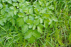 Podagraria de Aegopodium, a pessoa idosa à terra, do Apiaceae da família Imagens de Stock