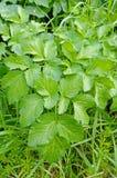 Podagraria di Aegopodium, l'anziano a terra, dall'apiaceae della famiglia Immagini Stock Libere da Diritti