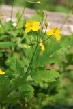 Podagrovaya giallo del ranuncolo di prato, erba bruciante, cecità notturna - un tossico, ma allo stesso fiore curativo di vryamya immagine stock libera da diritti