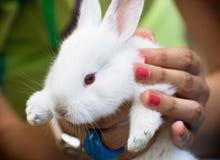 podaj królika white Fotografia Stock