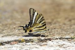 Podalirio butterfly perched on the floor Royalty Free Stock Photography