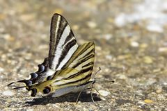 Podalirio butterfly perched on the floor Stock Photos