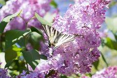 Podalirio Iphiclides Podalirius Butterfly on Syringa Flowers Stock Image
