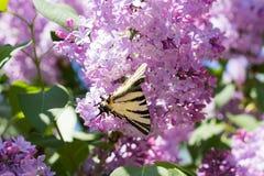 Podalirio Iphiclides Podalirius Butterfly on Syringa Flowers Royalty Free Stock Photo