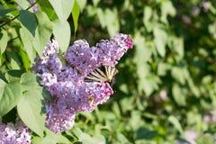 Podalirio Iphiclides Podalirius Butterfly on Syringa Flowers Stock Photo