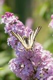 Podalirio Iphiclides Podalirius Butterfly on Syringa Flowers Stock Photos