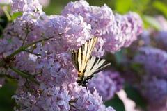 Podalirio Iphiclides Podalirius Butterfly on Syringa Flowers Royalty Free Stock Photography