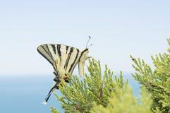 Podalirius蝴蝶坐杜松一片绿色叶子  免版税库存图片