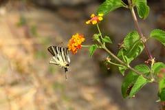Podalirius πεταλούδων iphiclides Στοκ Φωτογραφίες