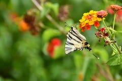 Podalirius πεταλούδων iphiclides Στοκ εικόνα με δικαίωμα ελεύθερης χρήσης