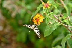 Podalirius πεταλούδων iphiclides Στοκ φωτογραφία με δικαίωμα ελεύθερης χρήσης