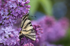 Podalirius butterfly on lilac colorful spring background Stock Photography