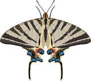 Podalirius d'Iphiclides Image libre de droits