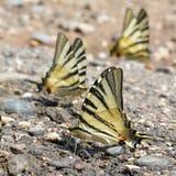 Podalirius de Iphiclides de las mariposas Imagenes de archivo