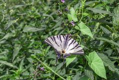 Podalirius escaso de Iphiclides de la mariposa del swallowtail en jardín fotos de archivo libres de regalías