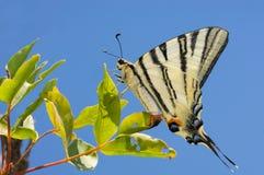 Podalirius fjärilssammanträde på ett grönt blad Fotografering för Bildbyråer
