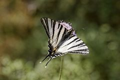 Podalirius Iphiclides, λιγοστό swallowtail, πανί swallowtail, αχλάδι-δέντρο swallowtail από τη Γαλλία Στοκ εικόνες με δικαίωμα ελεύθερης χρήσης