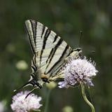 Podalirius Iphiclides, λιγοστό swallowtail, πανί swallowtail, αχλάδι-δέντρο swallowtail από τη νότια Γαλλία Στοκ Εικόνα