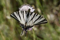 Podalirius Iphiclides, λιγοστό swallowtail, πανί swallowtail, αχλάδι-δέντρο swallowtail από τη νότια Γαλλία Στοκ Εικόνες