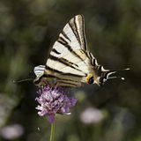 Podalirius Iphiclides, λιγοστό swallowtail, πανί swallowtail, αχλάδι-δέντρο swallowtail από τη νότια Γαλλία Στοκ εικόνα με δικαίωμα ελεύθερης χρήσης