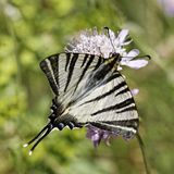 Podalirius Iphiclides, λιγοστό swallowtail, πανί swallowtail, αχλάδι-δέντρο swallowtail Στοκ φωτογραφίες με δικαίωμα ελεύθερης χρήσης
