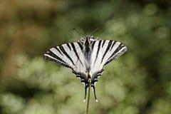 Podalirius Iphiclides, λιγοστό swallowtail, πανί swallowtail, αχλάδι-δέντρο swallowtail Στοκ Εικόνες