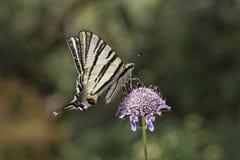 Podalirius Iphiclides, λιγοστό swallowtail, πανί swallowtail, αχλάδι-δέντρο swallowtail Στοκ Φωτογραφία