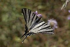 Podalirius Iphiclides, λιγοστό swallowtail, πανί swallowtail, αχλάδι-δέντρο swallowtail Στοκ φωτογραφία με δικαίωμα ελεύθερης χρήσης
