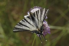 Podalirius Iphiclides, λιγοστό swallowtail, πανί swallowtail, αχλάδι-δέντρο swallowtail Στοκ εικόνες με δικαίωμα ελεύθερης χρήσης