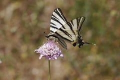 Podalirius Iphiclides, λιγοστό swallowtail, πανί swallowtail, αχλάδι-δέντρο swallowtail Στοκ Φωτογραφίες