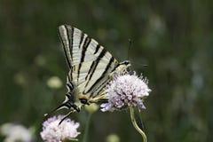 Podalirius Iphiclides, λιγοστό swallowtail, πανί swallowtail, αχλάδι-δέντρο swallowtail Στοκ εικόνα με δικαίωμα ελεύθερης χρήσης