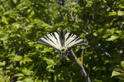 Podalirius Iphiclides Πεταλούδα Στοκ εικόνα με δικαίωμα ελεύθερης χρήσης