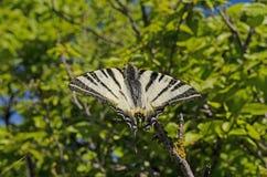 Podalirius Iphiclides Πεταλούδα Στοκ Φωτογραφίες