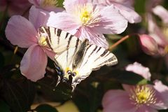 Podalirius Iphiclides πεταλούδων στα μεγάλα ρόδινα λουλούδια βοτανικό GA Στοκ Εικόνες