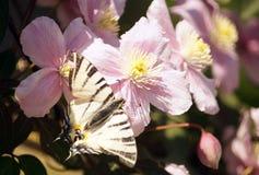 Podalirius Iphiclides πεταλούδων στα μεγάλα ρόδινα λουλούδια Στοκ Εικόνες