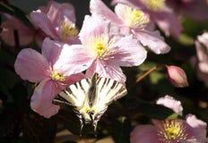 Podalirius Iphiclides πεταλούδων στα μεγάλα ρόδινα λουλούδια Clematis Στοκ εικόνα με δικαίωμα ελεύθερης χρήσης