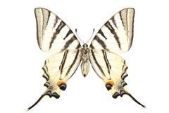 podalirius iphiclides Стоковое Изображение RF