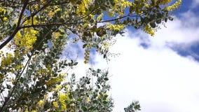 Podalyriaefolia ακακιών, πόλη DA Lat, επαρχία ήχων καμπάνας Lam, Βιετνάμ Στοκ Φωτογραφία