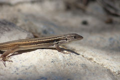 Podarcis hispanica atrata. The Iberian Wall Lizard (Podarcis hispanica) is a small wall lizard species of the genus Podarcis averaging 50–70 mm adult snout Royalty Free Stock Photography