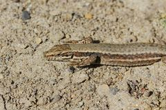 Podarcis muralis, Common wall lizard from Germany Royalty Free Stock Photo