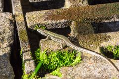 Podarcis muralis common wall lizard on the ground flees. In the sewers stock photography