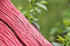 Common wall lizard hidding. Podarcis muralis  - common wall lizard  in his natural habitat stock photos