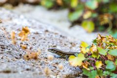 Podarcis muralis common wall lizard on a rock in germany with some flowers. In background royalty free stock images