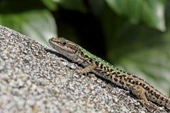 Podarcis sicula, Italian Wall Lizard, Ruin Lizard Royalty Free Stock Photo