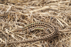 Podarcis tauricus - Balkan Wall Lizard Stock Photos